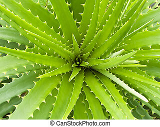 Aloe vera - Top view of a wide open aloe vera plant
