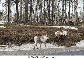 flock of reindeer - Reindeer wandering back to their summer...