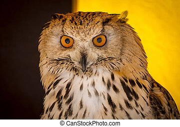 Watching eagle owl in a sample of birds of prey, medieval...