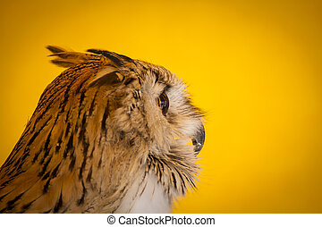 Hunter eagle owl in a sample of birds of prey, medieval fair