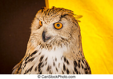 eagle owl in a sample of birds of prey, medieval fair