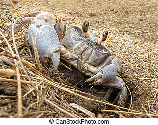 Land crab leaves its hole - Ghost crab around its hole,...