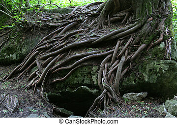 Magical Tree Roots - The magical tree roots of a tree...