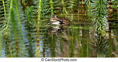 Croaking bubble frog - One male frog with two bubbles aside...