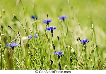Cornflower - Photo of the Cornflower Blooming in Nature...