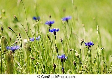 Cornflower - Photo of the Cornflower Blooming in Nature...