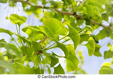 Ginkgo Biloba Tree - Photo of Ginkgo Biloba Tree Leaves Over...