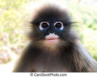 Cute spectacled langur Trachypithecus obscurus close-up -...