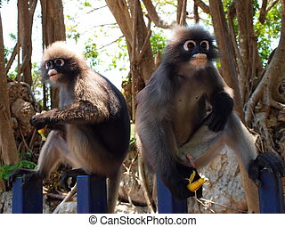Spectacled langurs Trachypithecus obscurus eating banana -...
