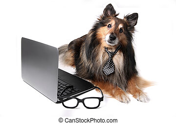 Sheltie dog at the office - Sheltie or Shetland Sheepdog...