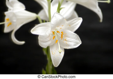 White Lily - Close up of a white lily, with other lilies on...