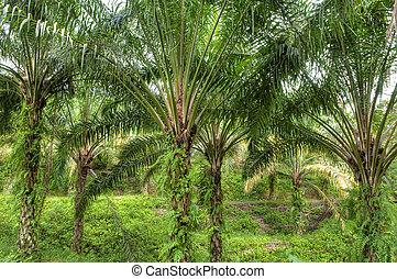 Palma, aceite, plantación