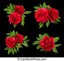 Red peonies on a black background.