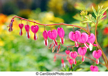 Bleeding Heart flowers Dicentra spectabilis - Pink Bleeding...