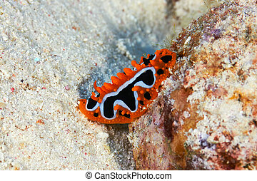 Eye spot sea slug (Phyllidia ocellata Cuvier) in the Red...