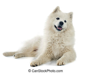 Samoyed - purebred Samoyed in front of white background