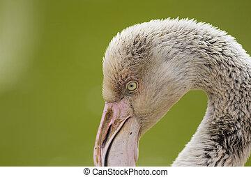 Flamingo Close Up 1