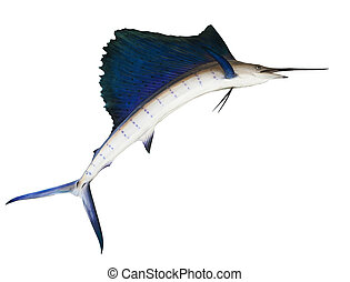 sailfish flying midair isolated white background use for...