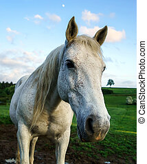 White horse in the field