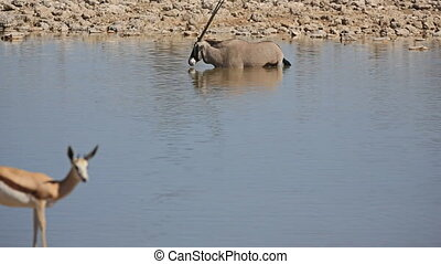 Springbok - Side view of Springboks and Oryx against...