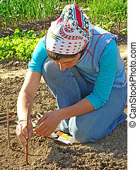 planting - woman planting pumpkin to the vegetable bed...