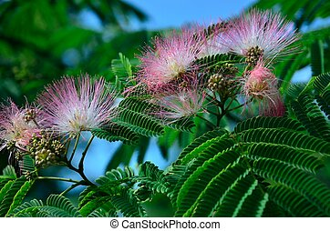 Pink mimosa flowers - Pink mimosa or silk tree flowers