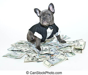 Rich Frenchbulldog - French bulldog puppy wearing a tux and...