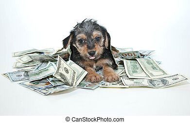 Silly Rich Morkie Puppy - Silly Morkie puppy sticking out...