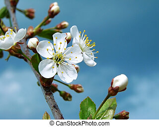 cherry tree blossom - cherry tree branch in bloom against...