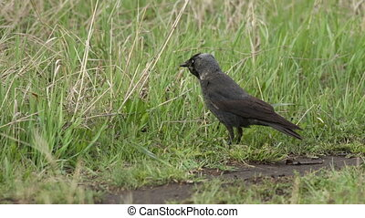 Jackdaw (Corvus monedula)  in the grass