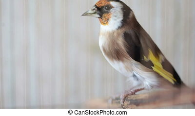FullHD video of Goldfinch bird in a birdcage