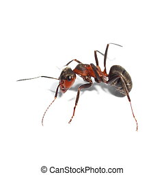 red ant isolated on white