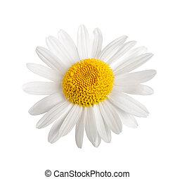 White daisy isolated on white background