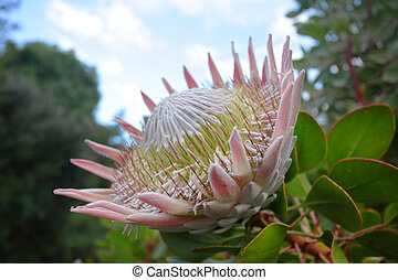Giant King Protea in bloom, side view. The flowerheads are...