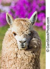 Alpaka, peruwiański,  Cuzco, Andy,  peru, portret