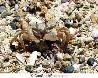 Crab on a beach - Crab and coral, Red sea, Abu Dabab, Egypt