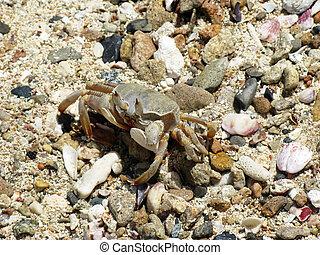Crab, Abu Dabab - Crab and coral, Red sea, Abu Dabab, Egypt