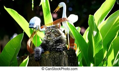 Maine coon cat playing on a stump - Maine coon cat playing...