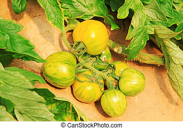 growing tomatoes in the garden, closeup of photo