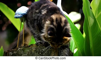 Maine Coon cat sharpening its claws on a tree stump in...