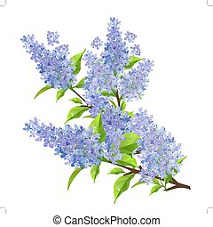 Branch of lilac with leaves isolated
