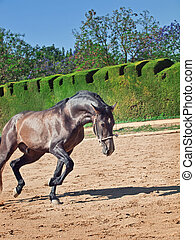 Running Andalusian stallion
