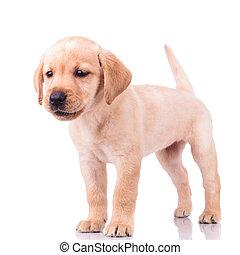 adorable barking little labrador retriever puppy dog