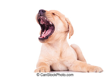 excited labrador retriever puppy dog screaming of joy