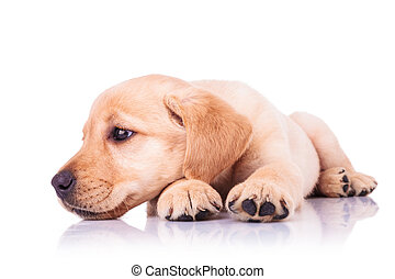 sad little labrador retriever puppy dog with head on paws