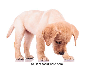 little labrador retriever puppy dog sniffing something -...