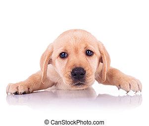 lindo, poco, triste, Labrador, perro, cara, perrito, perro...