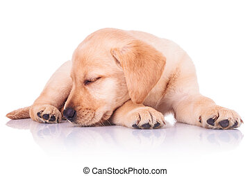 little labrador retriever puppy dog is sleeping