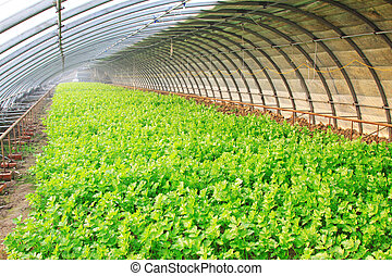 celery planting greenhouses in a farm, closeup of photo