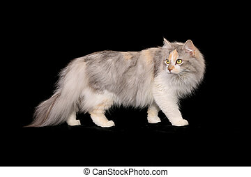 Purebred cat - Studio shot of white and gray purebred cat